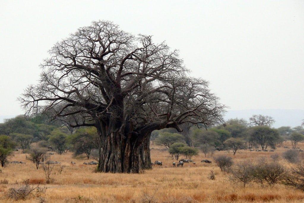 Un baobab large et massif dans la savanne africaine.